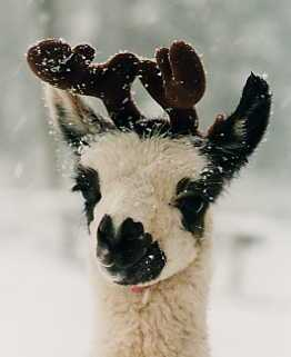 Llama with antlers
